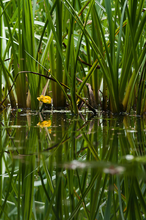 Yellow or brandy bottle water lily, Nuphar Lutea, and bulrush, Typha latifolia, leaves in stream surrounding traditional hay meadow. Clattinger Farm, Wiltshire. UK. This habitat has been reduced by 98% in the UK since the Second World War. This is largely due to the intensification of farming practices.