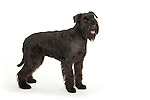 Giant Schnauzer Dog, Standing, Studio, White Background