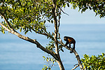 Mantled Howler Monkey (Alouatta palliata) male in tree, Osa Peninsula, Costa Rica