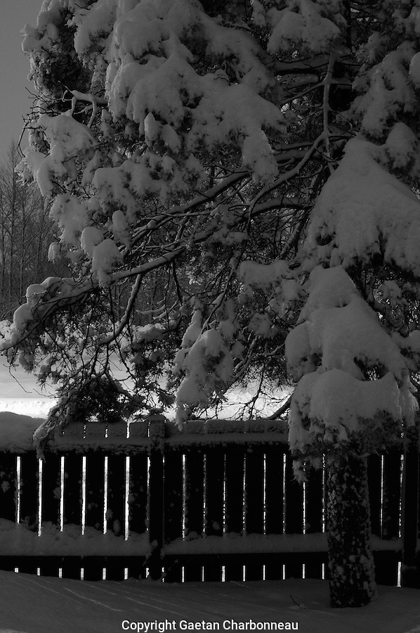 Snow on a fence and a pine tree at night