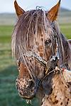 Horse, Mongolia