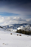 USA, Wyoming, Yellowstone National Park, bison in an open field of snow, looking towards Hellroaring Mountain, Blacktail Deer Plateau