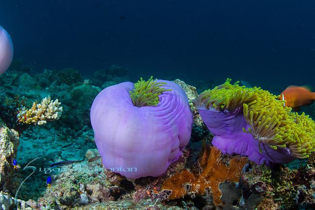 Purple Anemones,Radianthus magnifica, Maldives
