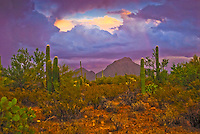 """DESERT STORM""<br /> <br /> Dark foreboding purple colors herald a desert storm at Saguaro National Park Tucson Arizona"