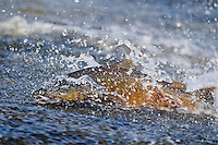 Chinook Salmon (Oncorhynchus tshawytscha) swimming across a shallow area of stream on its fall spawning migration.  Pacific Northwest.
