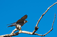 A Peregrine Falcon, Falco peregrinus, spreads its wings as it perches in a tree in Sacramento National Wildlife Refuge, California