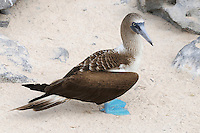 Blue-footed Booby (Sula nebouxii), adult, Seymour Norte Island, Galapagos Islands, Ecuador, South America