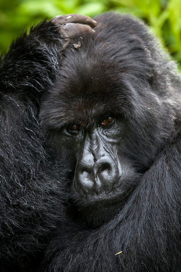 A silverback mountain gorilla cradles his head jungle of Rwanda's Virunga Mountains. This was the second-ranked silverback in the family. Nearby, a smaller female sat in a clump of grass. Apparently, while the lower-ranked silverbacks are not supposed to mate with the females, they will sometimes sneak away from the family group and secretly do so. If the top silverback catches them, he will punish them.