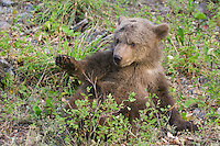 Grizzly bear cub getting up after lying on its back - CA