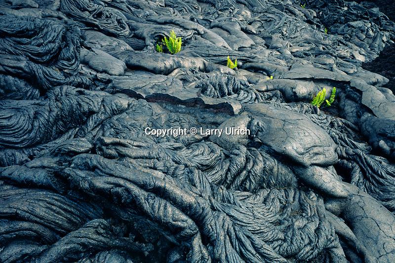 Pahoehoe lava and kupukupu or common swordfern<br /> Holei Pali<br /> Hawaii Volcanoes National Park<br /> Island of Hawaii,  Hawaii