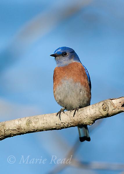 Western Bluebird (Sialia mexicana), male (banded on right leg), Orange County, California, USA