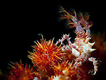 Candy crab ( Hoplophrys oatesi ) on red /orange soft coral