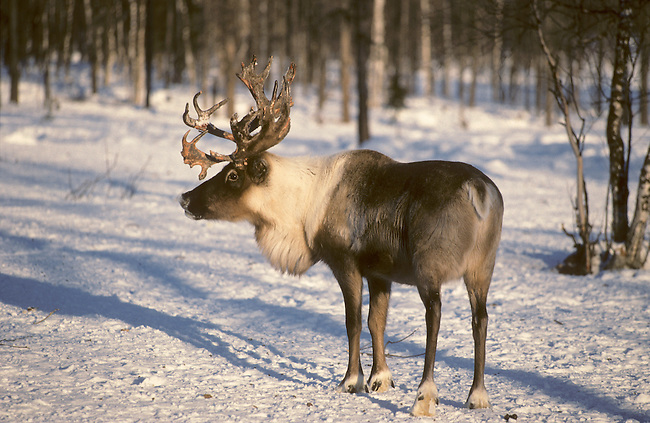A reindeer at its winter pasture in the boreal forest. Yamal, Siberia, Russia.