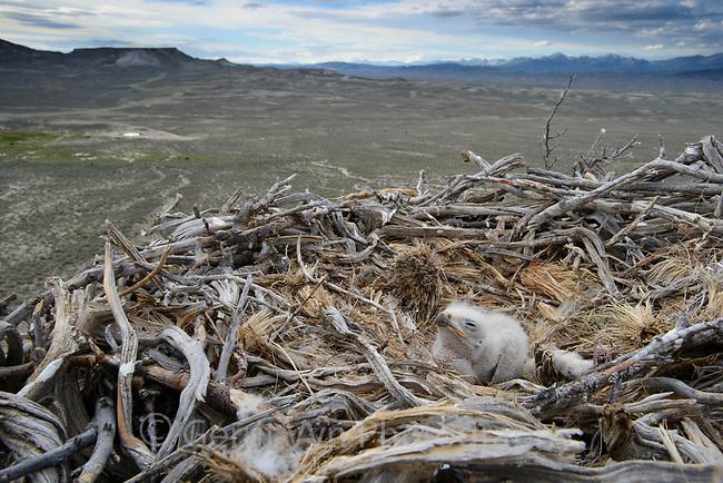 Ferruginous Hawk (Buteo regalis) nest with chick. Sublette County, Wyoming. June.