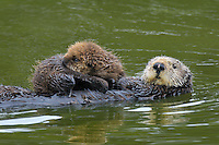 Sea Otter (Enhydra lutris) mother carrying young (under three weeks) pup.
