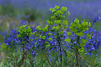 Wild Wood Spurge amidst a carpet of Common Bluebells