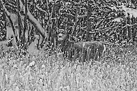 """""""WINTER CAMOUFLAGE""""<br /> <br /> 40 X 30 USD 3,500<br /> 36 X 24 USD 2,800<br /> <br /> 16 x 12.5 Paper print. Signed & numbered.<br /> 1/50 $95.00<br /> <br /> A blacktail (aka mule deer) stands alone and nearly invisible in the forest after a snow storm. The winter colors make this appear to be a black and white image but it is actually not."""