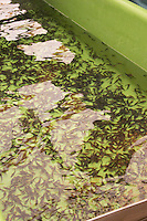 "A fish farm nursery dam pond tank for breeding sturgeon with very small fish fry spawn  ""Caviar et Prestige"" Saint Sulpice et Cameyrac  Entre-deux-Mers  Bordeaux Gironde Aquitaine France - at Caviar et Prestige"