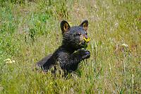 black bear, Ursus americanus, cub eating flower, near Tower Intersection, Yellowstone National Park, Wyoming, USA