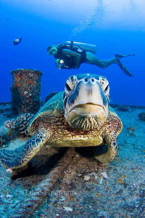 A diver (MR) and green sea turtle, Chelonia mydas, on the wreck of the YO-257 off Waikikik Beach, Oahu, Hawaii.