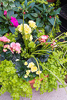 Double begonias, Lysimachia nummularia Aurea and Dracaena spikes in pot for annual planting combination of foliage and flowers