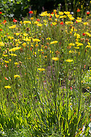 Garten-Schwarzwurzel, Gartenschwarzwurzel, Gemüse-Schwarzwurzel, Spanische Schwarzwurzel, Echte Schwarzwurzel, Scorzonera hispanica, Black salsify, Spanish salsify, black oyster plant, serpent root, viper's herb, viper's grass, scorzonera