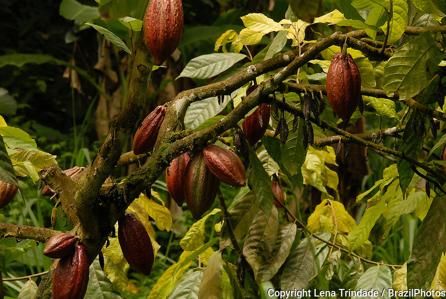 Cocoa fruit, Sao Tome and Principe, Africa.