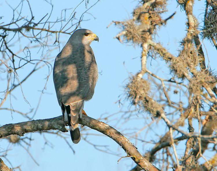 Gray hawk in tree in Anzalduas County Park on Rio Grande River near McAllen, TX