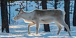 Finland, Lapland, Ivalo, northern reindeer (Rangifer t. tarandus)