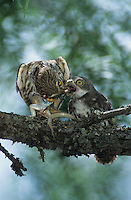 Ferruginous Pygmy-Owl, Glaucidium brasilianum, adult feeding lizard to young, Willacy County, Rio Grande Valley, Texas, USA