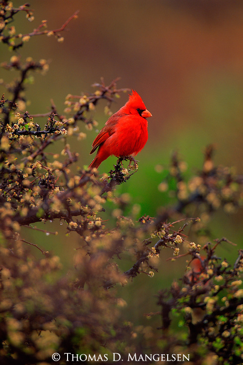 A northern cardinal perches on a bush.