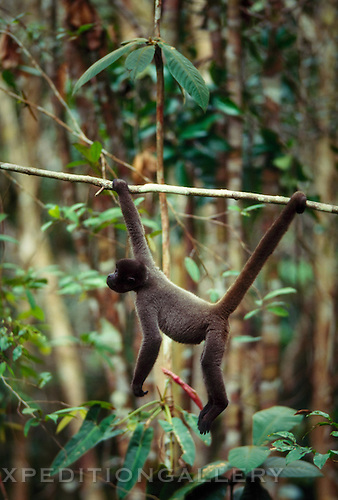 A common woolly monkey (Lagothrix lagotricha) hangs on a branch in the Amazon rainforest. Long limbs and a prehensile tail aid these agile primates in their arboreal lifestyle.