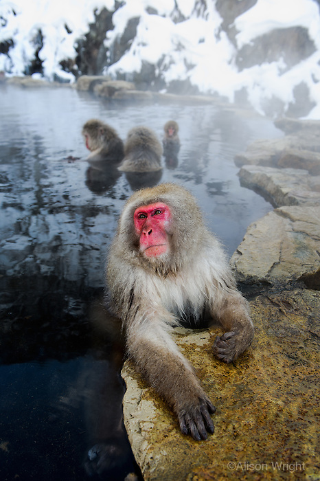 Snow monkeys or Japanese macaque, at Jigokudani Yaenkoen Park