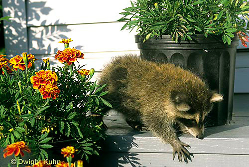 MA25-161z  Raccoon - young raccoon exploring - Procyon lotor