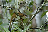 The Red-backed Squirrel Monkey (Saimiri oerstedii) is a declining species in the rainforests; La Selva, Costa Rica