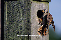 00818-01009 American Kestrel (Falco sparverius) female with mouse at nest box, Marion Co. IL