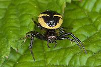 Südliche Glanz-Krabbenspinne, Südliche Glanzkrabbenspinne, Krabbenspinne, red crab spider, Synema globosum, Synaema globosum, Krabbenspinnen, Thomisidae, crab spiders
