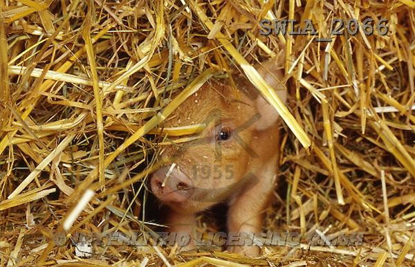 Carl, ANIMALS, photos(SWLA2066,#A#) Schweine, cerdos
