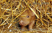 Carl, ANIMALS, photos(SWLA2066,#A#) Schweine, cerdos