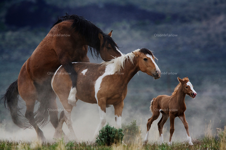The harem stallion in the Steens Mountain herd mated several times with his mare who just gave birth the day before.