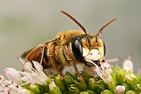 Solitary bee on mint