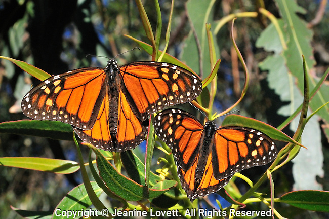 close-up of two monarch butterflys sunning themselfs on a eucalyptus tree branch.