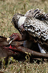 White-Backed Vulture, Mara River region, Kenya