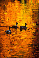 Ducks on a pond with golden reflections of autumn.