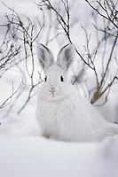 Snowshoe Hare (Lepus americanus).  Winter.