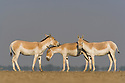 Indian wild asses (Equus hemionus khur) in vast dry clay pan; pan is flooded during monsoon<br /> The Indian wild ass's range once extended from western India, through Sind and Baluchistan, Afghanistan, and south-eastern Iran. Today, its last refuge lies in the little Rann of Kutch and its surrounding areas of the Greater Rann of Kutch in the Gujarat province.