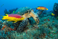 Hawksbill sea turtle Eretmochelys imbricata feeding on sponges on the shipwreck of the MIspah offshore Singer Island, Florida, USA, Atlantic Ocean Spanish hogfish Bodianus rufus follow the turtle picking up leftovers. Endangered.