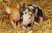 Carl, ANIMALS, photos(SWLA2125,#A#) Schweine, cerdos