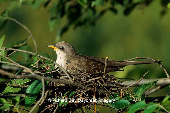 01099-00614 Yellow-billed cuckoo (Coccyzus americanus) adult brooding nestlings   IL