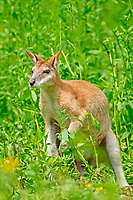 agile wallaby, or sandy wallaby, Macropus agilis (c)